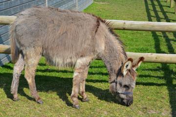Mature Donkey Grazing