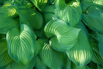 Closeup of beautiful textured healthy green hosta leaves