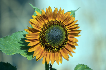A fully opened sunflower head displaying different stages of growth against a bokeh background.