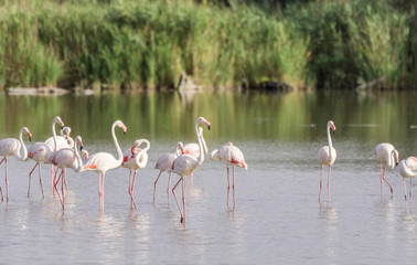 A pat of pink flamingos wading in the briny waters of the Camargue, a wetland in France.