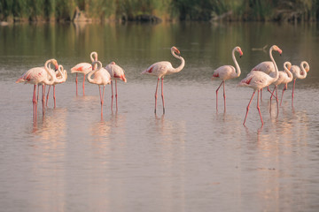 A flock or flamboyance of flamingos at sunset in The Camargue in the French region of Cote D'Azur.