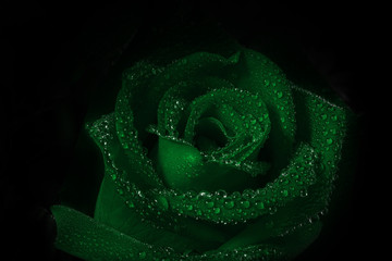 Shaded of lighting on fresh green roses with droplets on darkness background