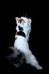 the three-colored cat stretches upwards on a dark background, the view from the back