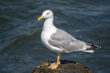 Sea gull portrait.