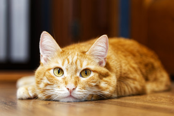 Closeup portrait of a red cat lying on a wooden floor and looking directly into camera on a blurred background. Shallow focus.