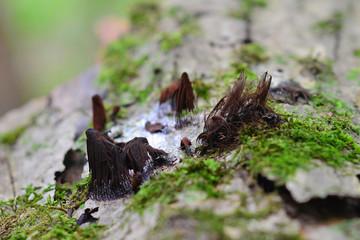 Stemonitis splendens slime mold