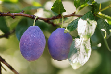 Two ripe plums on a branch, close-up