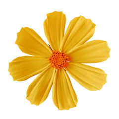 flower yellow orange cosmos (mexican aster), isolated on a white  background. Close-up. Element of design.