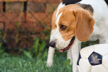 Beagle dog on grass looking up towards camera with tongue out after playing with ball summer day