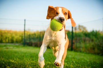 Dog beagle purebred running with a green ball on grass outdoors towards camera summer sunny day on green grass