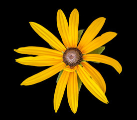 Fine art still life floral color macro portrait of a single isolated yellow coneflower blossom on black background with leaves and detailed texture