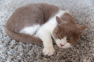 Cat lies relaxed on a rug and looks towards camera