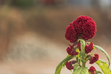 Beautiful tropical red flower closeup and green leaf with blur bokeh background.