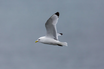close view flying black-legged kittiwake (rissa tridactyla), spread wings
