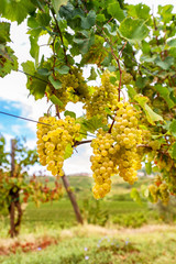 White grapes hanging from vine with blurred vineyard background