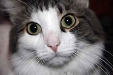 White-gray cat macro