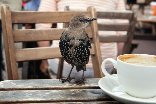 Young starling on a wooden table with a white cup