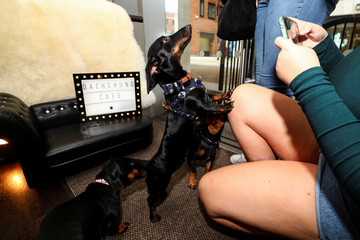 A Dachshund dog jumps for a treat as she visits a pop-up Dachshund cafe in London