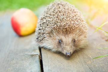 Hedgehog and red ripe apple on a white background. Copy space