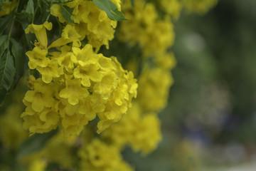 Door stickers Vineyard Yellow trumpet flower on a background blur