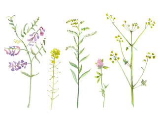 graceful collection of meadow plant and flowers. watercolor painting