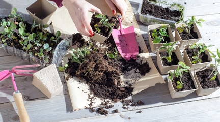 young woman planting tomatoes plants to the paper pots. copy space. top view