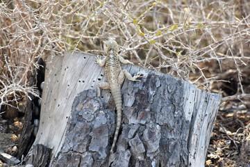 Cyprus wild lizard