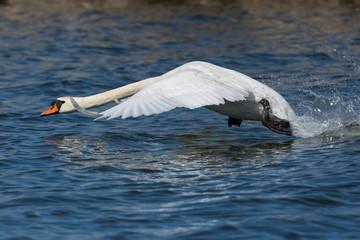 portrait mute swan (cygnus olor) in flight, take off