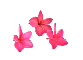 pink frangipani tropical flower, plumeria, Lanthom, Leelawadee flower isolated white background