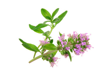 flowering twig thyme spice isolated on white background