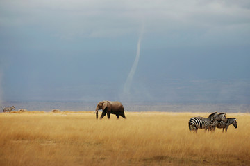 A whirlwind is seen as elephant and zebras walk through the Amboseli National Park