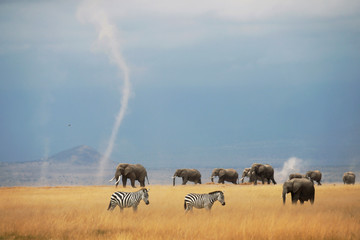 A whirlwind is seen as elephants and zebras walk through the Amboseli National Park