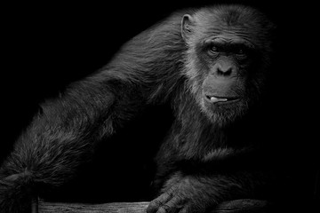 Black and White cute Chimpanzee hold peanut in his mouth on black background