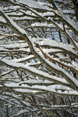 Winter view of completely snow-covered tree branches