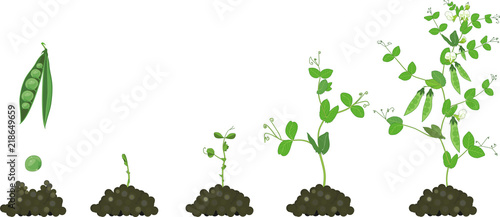 life cycle of pea plant  stages of pea growth from seed and sprout to adult  plant with fruits