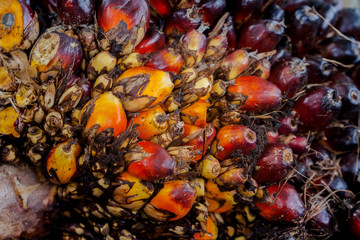 The fruit of the palm oil is orange. Palm oil is used to extract oil for cooking..palm oil in werehouse