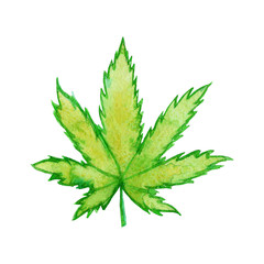 A green leaf of Cannabis sativa (Cannabis indica, Marijuana) medicinal plant. Watercolor hand drawn illustration isolated on a white background. Botanical illustration of hemp.