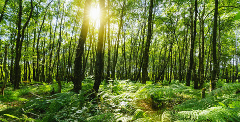 beech forest with sunlight Shining through Natural Forest of Beech Trees
