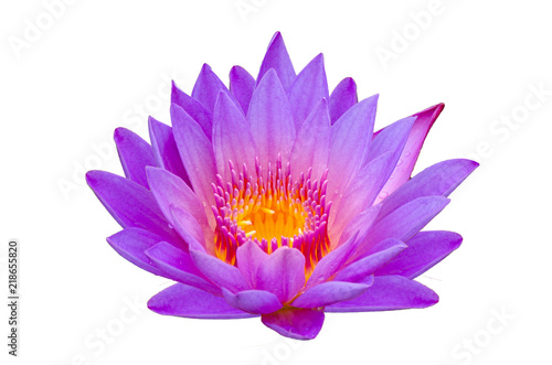 Wall mural lotus purple Isolate lotus Beautifully bloomed in yellow pollen