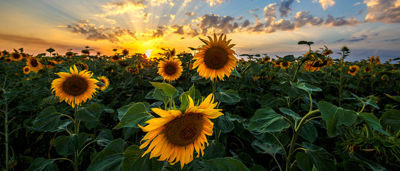 Poster Zonnebloem Summer landscape: beauty sunset over sunflowers field. Panoramic views