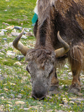 Brown yak grazing in a field scattered with stones, near Rongbuk monastery, Tibet