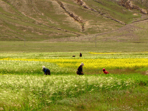 Tibetan women working the fields, protecting their heads with hats, Tibet
