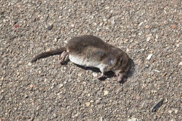 dead mouse on the asphalt