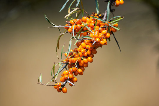 Seaberry (Hippophae rhamnoides)