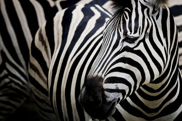 Fototapete - Zebra on dark background. Black and white image