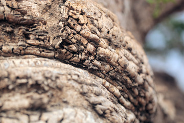 ancient baobab trunk closeup outdoors in the gambia, Africa