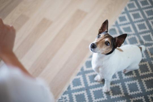Cute alert little dog watching its owner