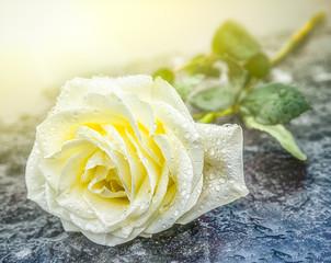 eine auf einem Grabstein niedergelegte gelbe Rose auf gefrorenem Untergrund zum Ausdruck der Trauer und des Gedenkens mit genügend Textfreiraum