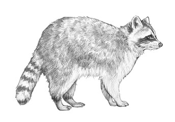 Raccoon sketch. Hand drawn coon illustration in pencil of racoon standing in side view isolated on a white background.