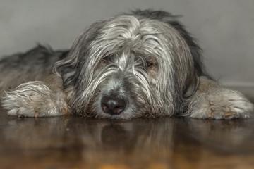 Cachorro deitado com reflexo no piso.